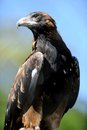 Wedge tailed eagle a close up shot of a australian Royalty Free Stock Photography