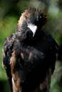 Wedge tailed eagle a close up shot of a australian Royalty Free Stock Photo