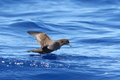 Wedge-tailed Shearwater Royalty Free Stock Photo