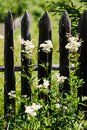 Weed against the old wooden fence Royalty Free Stock Photo