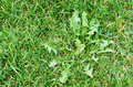 Weed in a grass field close up Royalty Free Stock Image