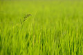 Weed grows in rice field Royalty Free Stock Images