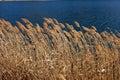 Weed on the lake in Kawaguchiko, Japan Royalty Free Stock Photo