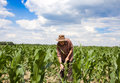 Weeding corn field with hoe old man a in the Stock Images