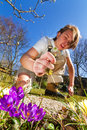 Weeding the spring garden young man busy plucking weeds in with crocuses Stock Photos