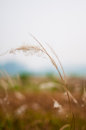 Weeds brown in the field Royalty Free Stock Image