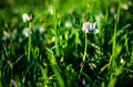 Weeds fabaceae in the grass Royalty Free Stock Image