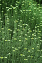 Weeds on field green with flower Royalty Free Stock Image