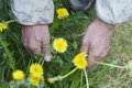 Weeds senior man hands weeding the garden overhead closeup with particular focus Royalty Free Stock Image