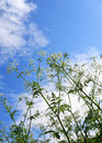 Weeds and sky Royalty Free Stock Photo