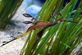 Weedy sea Dragon Stock Photography