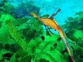 Weedy seadragon male carrying a bunch of eggs on his tail Royalty Free Stock Image