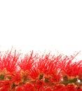 Weeping bottlebrush flowers Stock Photos
