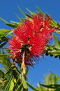Weeping Bottlebrush Tree Calli...
