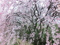 Weeping cherry blossoms or drooping tree Stock Photography