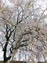 Weeping cherry or drooping tree Royalty Free Stock Photo