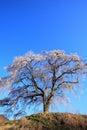 Weeping cherry tree and jizo gunma japan Royalty Free Stock Images