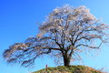 Weeping cherry tree and jizo gunma japan Stock Image