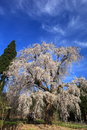 Weeping cherry tree name is mizunaka no shidare sakura nagano japan Royalty Free Stock Image