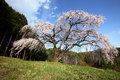 Weeping cherry tree okkazuma no shidarezakura on the hill yamanashi japan Stock Image