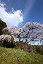 Weeping cherry tree okkazuma no shidarezakura on the hill yamanashi japan Stock Photography