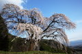 Weeping cherry tree okkazuma no shidarezakura on the hill yamanashi japan Stock Photos