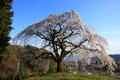 Weeping cherry tree okkazuma no shidarezakura on the hill yamanashi japan Stock Images