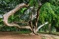 Weeping fig or Ficus benjamina Royalty Free Stock Photo