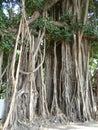 Weeping fig, Ficus tree in Bangkok Thailand