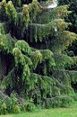 Weeping spruce Stock Photos