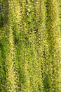 Weeping willow background Royalty Free Stock Photo