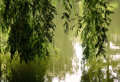 Weeping willow beautiful branches of a tree reflecting into the calm waters of a pond Royalty Free Stock Photos