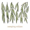 Weeping willow. Hand drawing. Set of vector illustrations