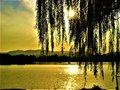 Weeping willow, luminescence, evanescence, lake, light and fairytale atmosphere Royalty Free Stock Photo