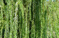 Weeping willow tree branches Royalty Free Stock Photo