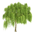 Weeping willow tree isolated on white Royalty Free Stock Image