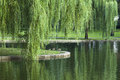 Weeping willow tree leaves in the tranquil scene Royalty Free Stock Image