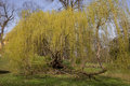 Weeping willow tree in the park Royalty Free Stock Photo