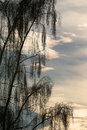 Weeping willow in the winter sun Royalty Free Stock Photo