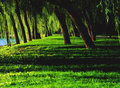 Weeping Willows Royalty Free Stock Photography