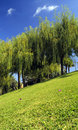 Weeping Willows in the park Royalty Free Stock Photos