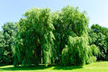 Weeping willows salix alba tristis in summer Royalty Free Stock Image