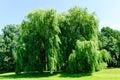 Weeping willows, Salix alba Tristis Royalty Free Stock Photo