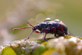 Weevil on a leave in morning dew Royalty Free Stock Photo