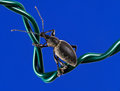 Weevil on wire Stock Photography