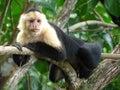 Weißer throated capuchin Stockfotografie