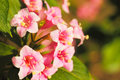 Weigela Flowers