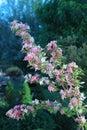 Weigela shrub flower in the garden summer time Stock Images