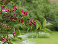 Weigelia bough with beautiful red flowers Royalty Free Stock Images