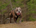 Weight pull for bulldog a training a old english with harness and chains Stock Photo